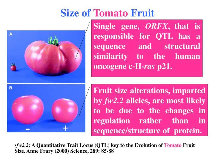 Size of tomato fruit