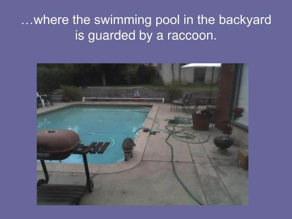 …where the swimming pool in the backyard is guarded by a raccoon.