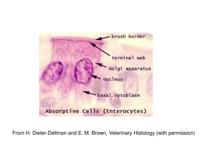 From H. Dieter-Dellman and E. M. Brown, Veterinary Histology (with permission)