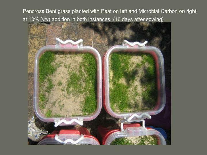 Pencross Bent grass planted with Peat on left and Microbial Carbon on right