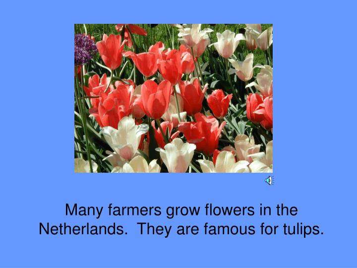 Many farmers grow flowers in the Netherlands.  They are famous for tulips.