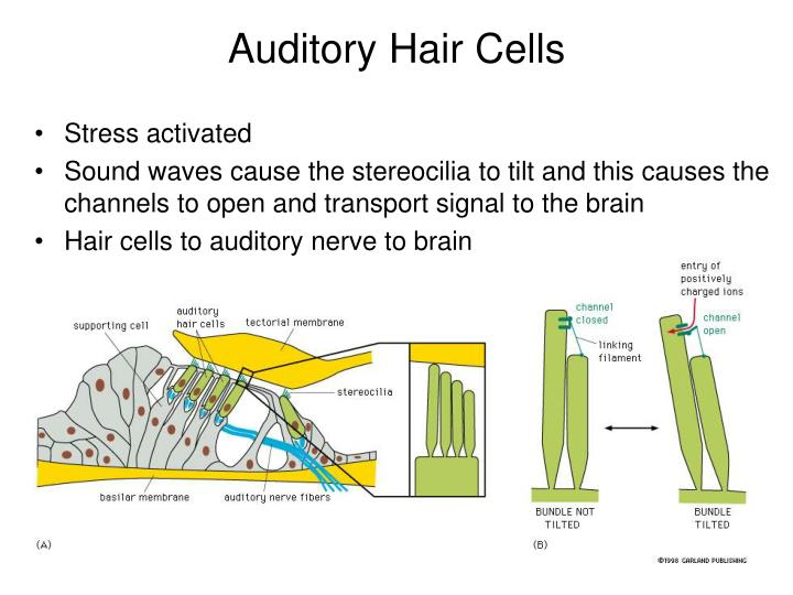 Auditory Hair Cells
