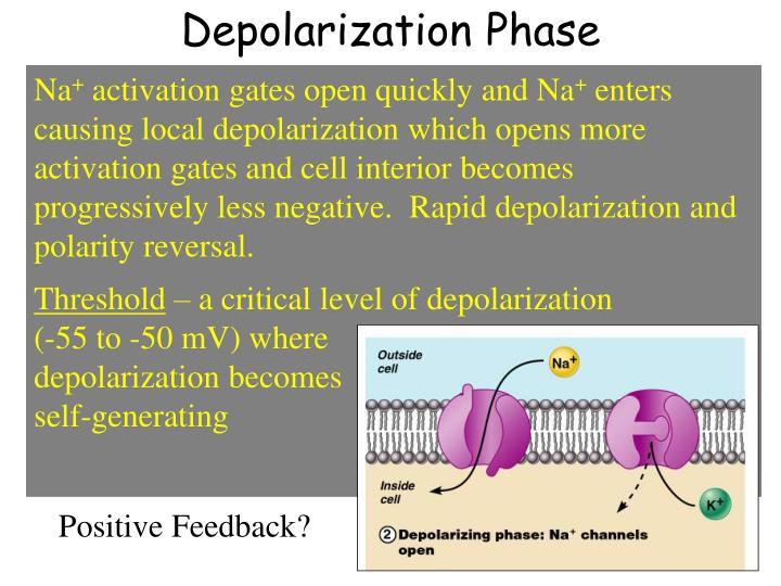 Depolarization Phase
