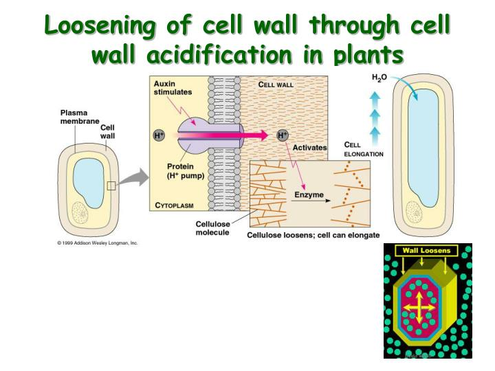 Loosening of cell wall through cell wall acidification in plants