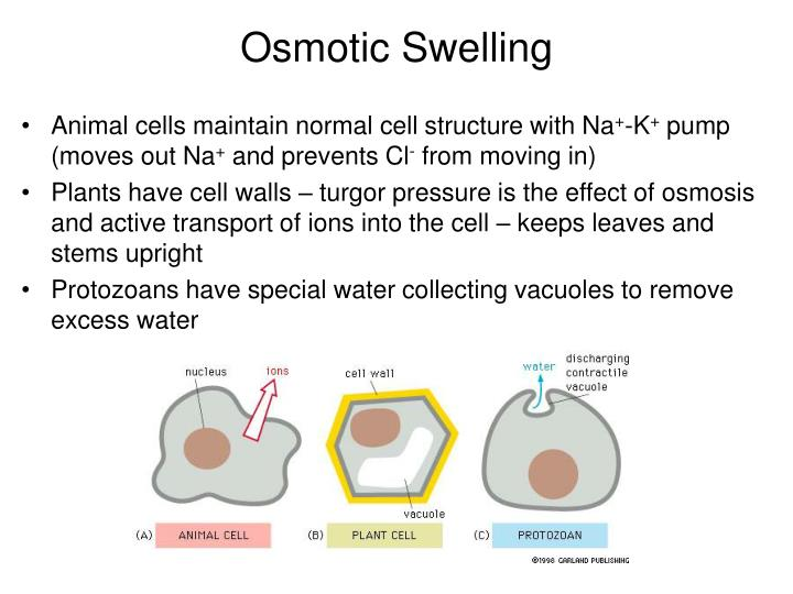 Osmotic Swelling