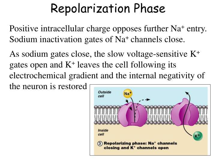 Repolarization Phase