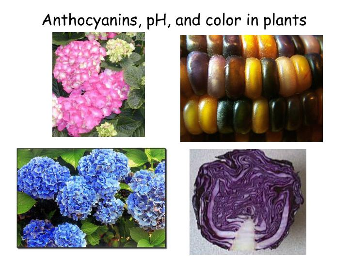 Anthocyanins, pH, and color in plants