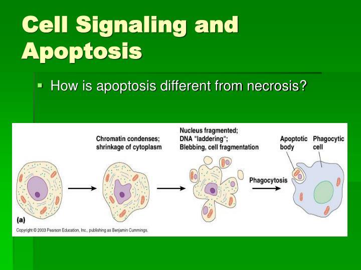 Cell Signaling and Apoptosis