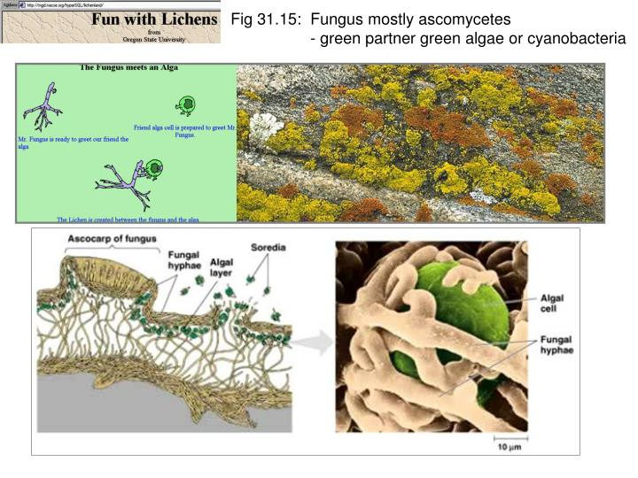 Fig 31.15:  Fungus mostly ascomycetes