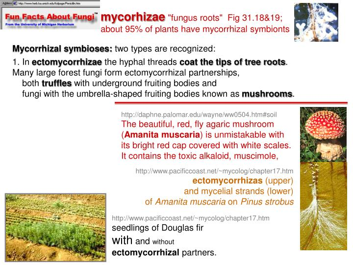 mycorhizae