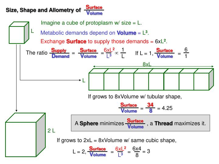 Size, Shape and Allometry of
