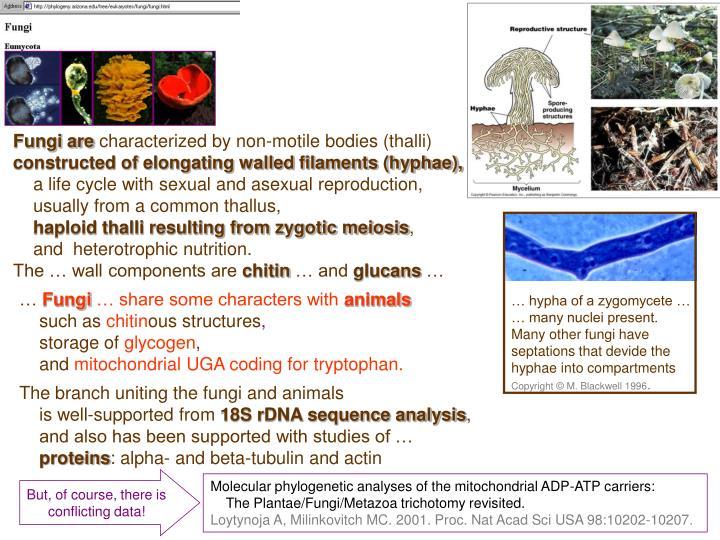 … hypha of a zygomycete …