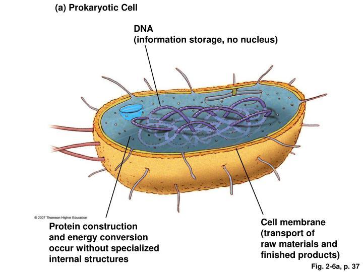 (a) Prokaryotic Cell