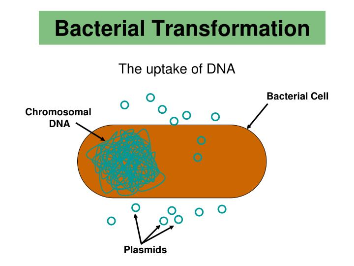 bacteria transformation in biotechnology Biotechnology bacterial transformation lab: the effects of pglo dna on e coli method introduction bacteria transformation is the process of a bacterium absorbing and integrating naked dna located on the surface of their membrane.