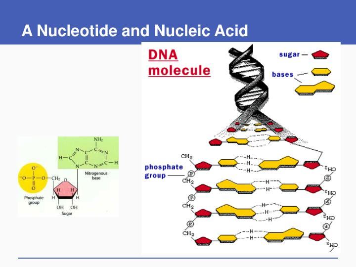 A Nucleotide and Nucleic Acid