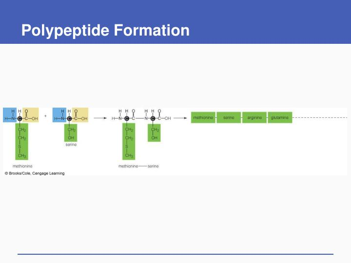 Polypeptide Formation