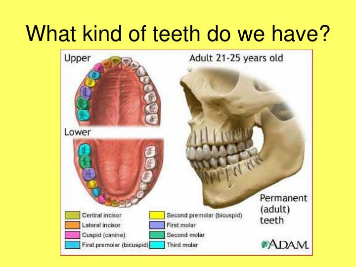 What kind of teeth do we have?