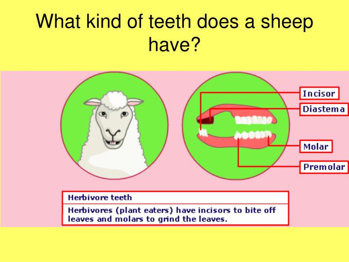 What kind of teeth does a sheep have?