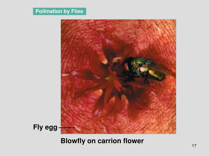 Pollination by Flies