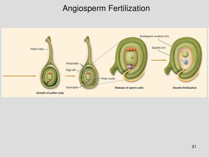 Angiosperm Fertilization