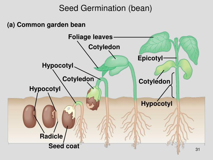 Seed Germination (bean)