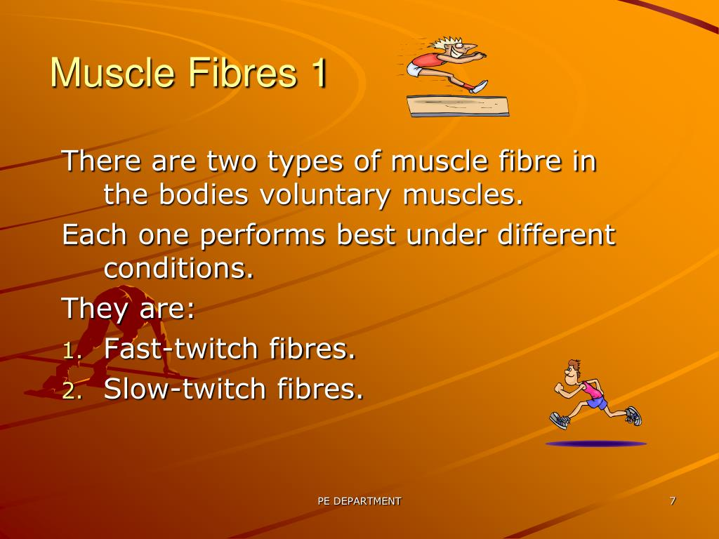 Muscle Fibres 1