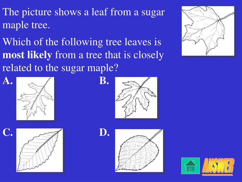 The picture shows a leaf from a sugar