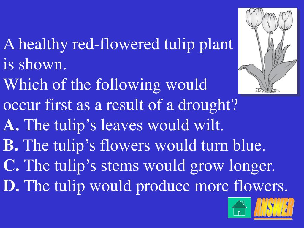 A healthy red-flowered tulip plant