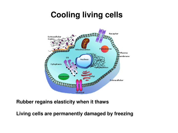 Cooling living cells