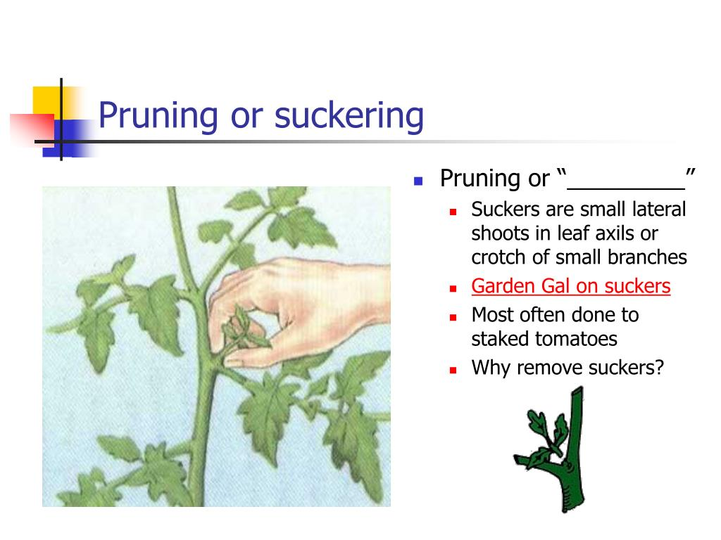 Pruning or suckering