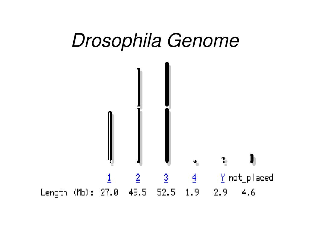 Drosophila Genome