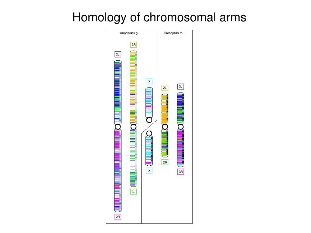 Homology of chromosomal arms
