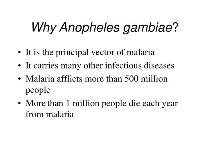 Why anopheles gambiae