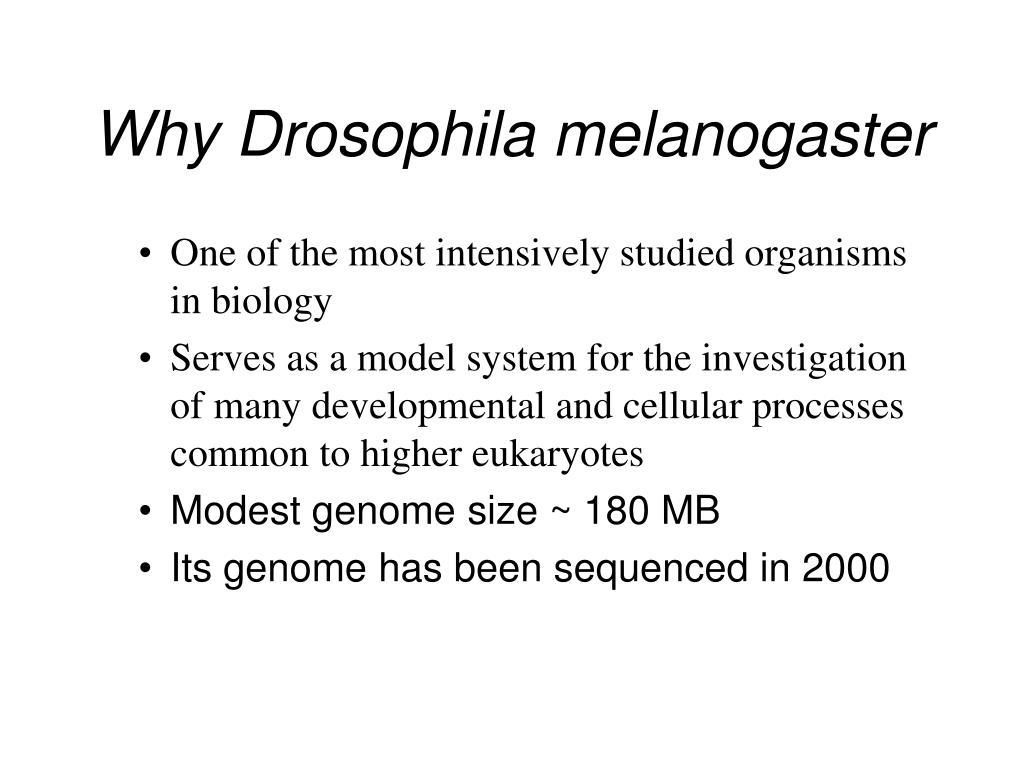 Why Drosophila melanogaster