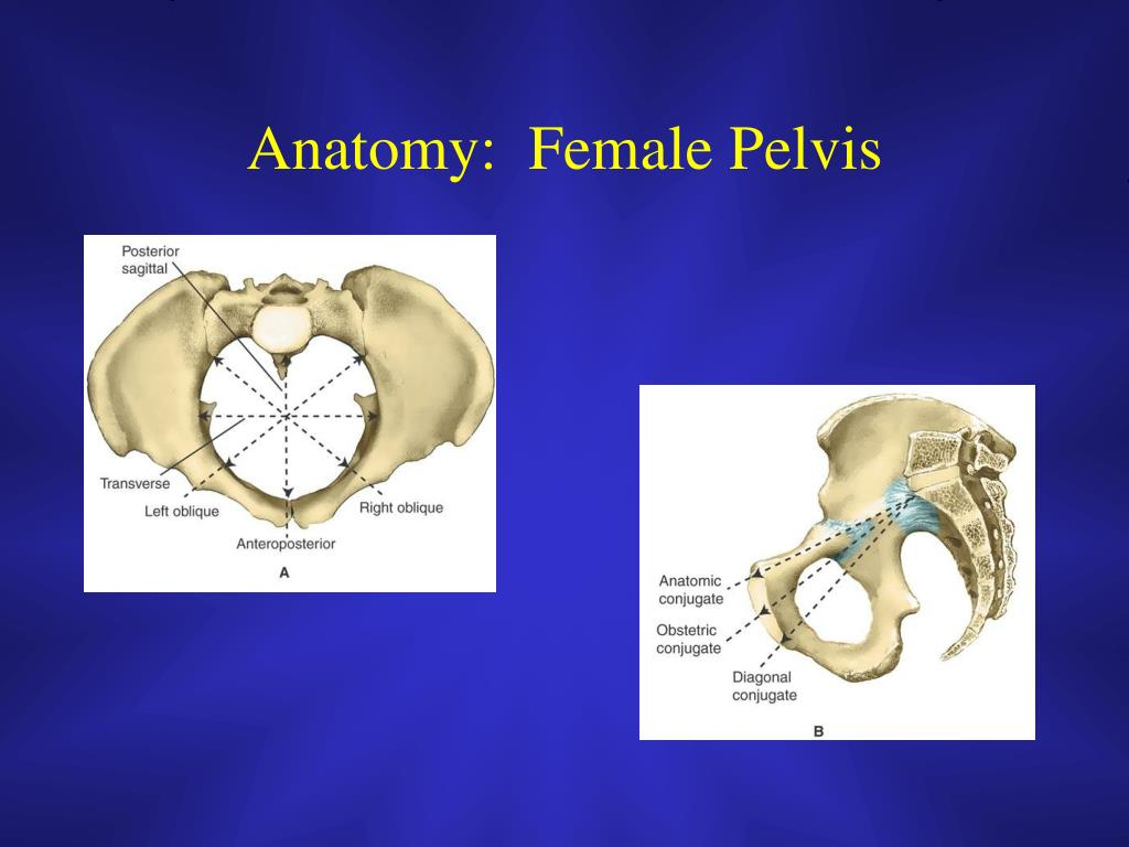 Anatomy:  Female Pelvis