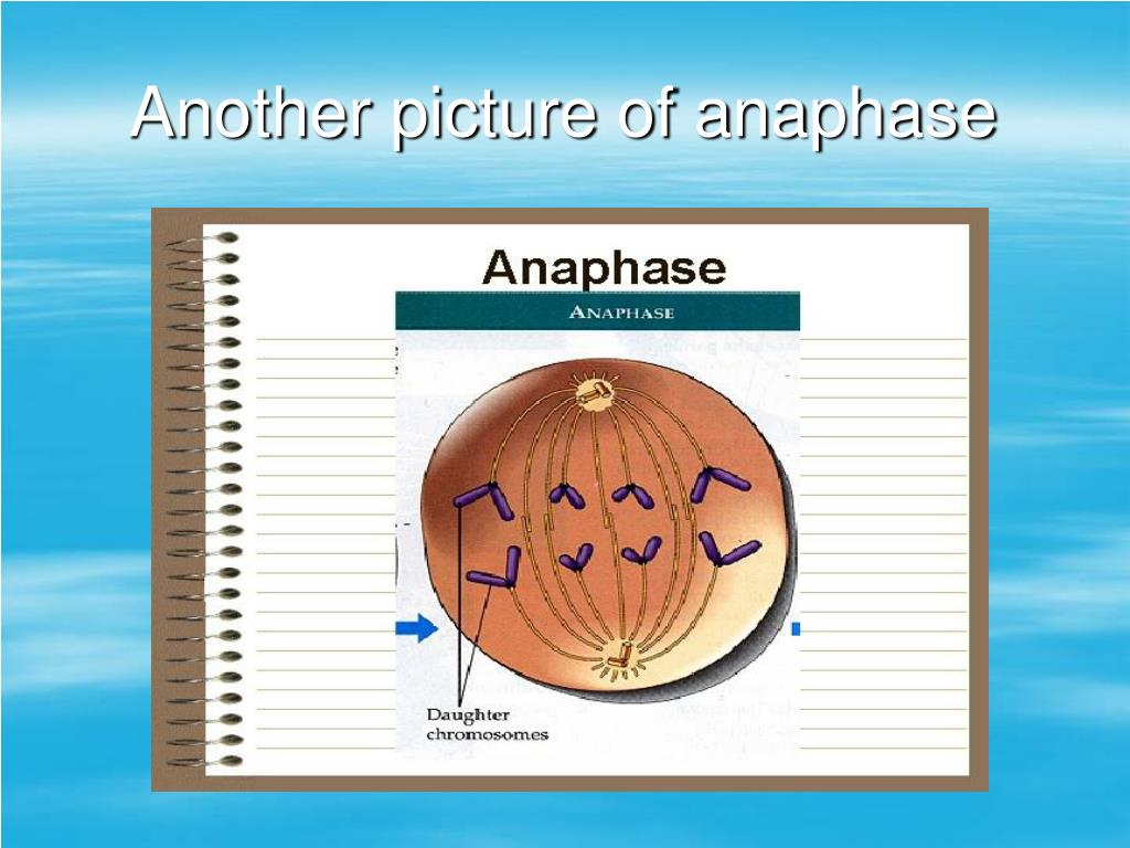 Another picture of anaphase