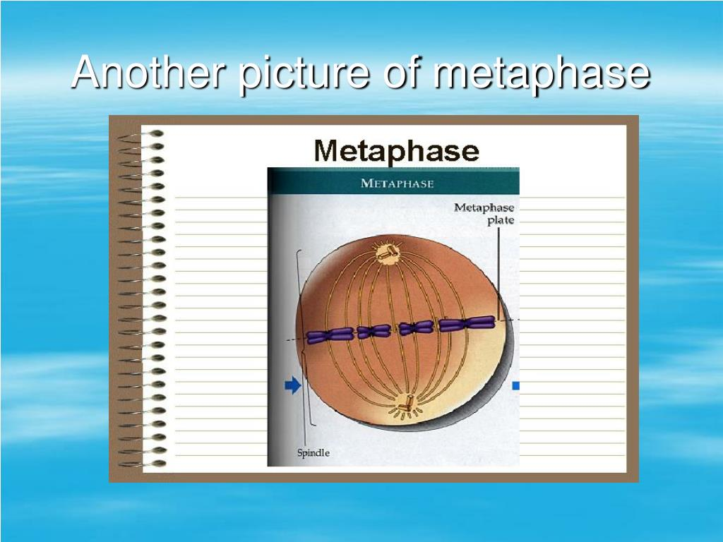 Another picture of metaphase