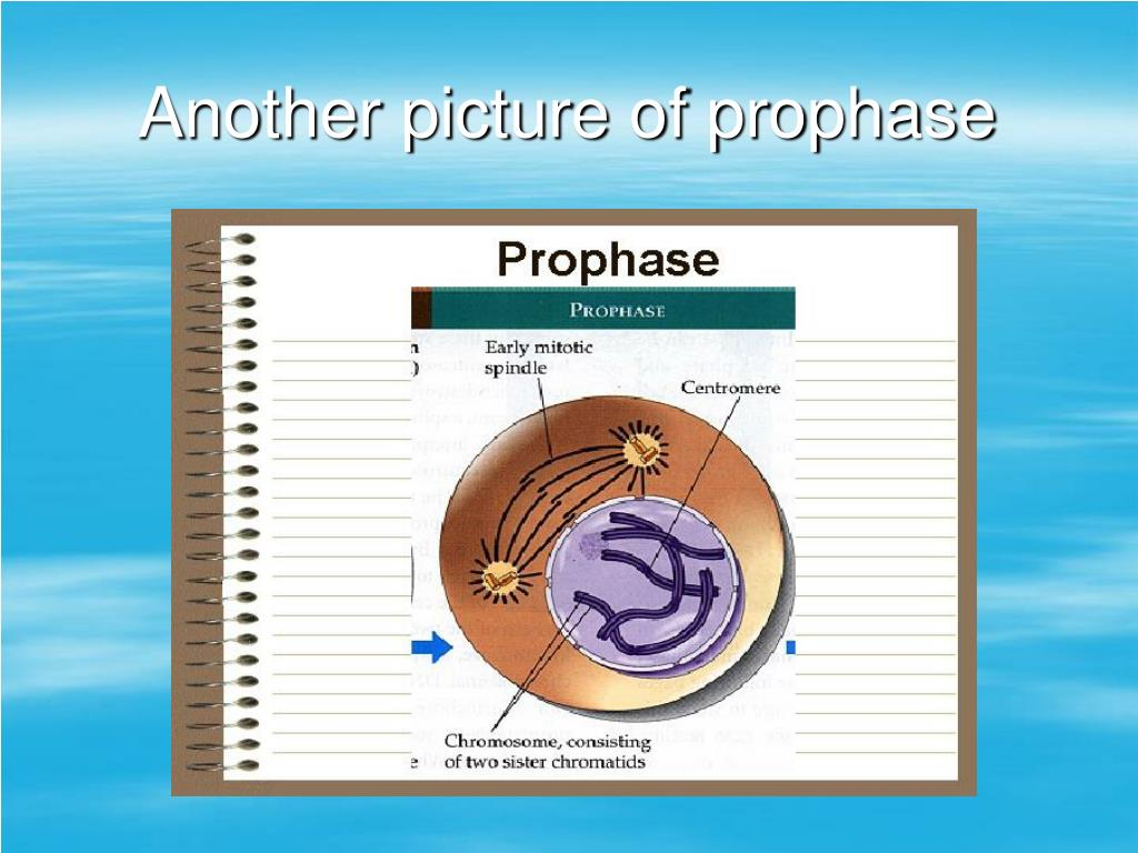 Another picture of prophase