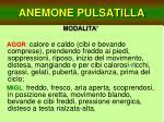 anemone pulsatilla23