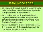 ranuncolacee3