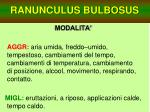 ranunculus bulbosus26