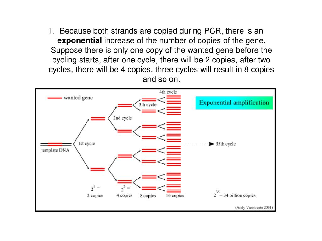 Because both strands are copied during PCR, there is an