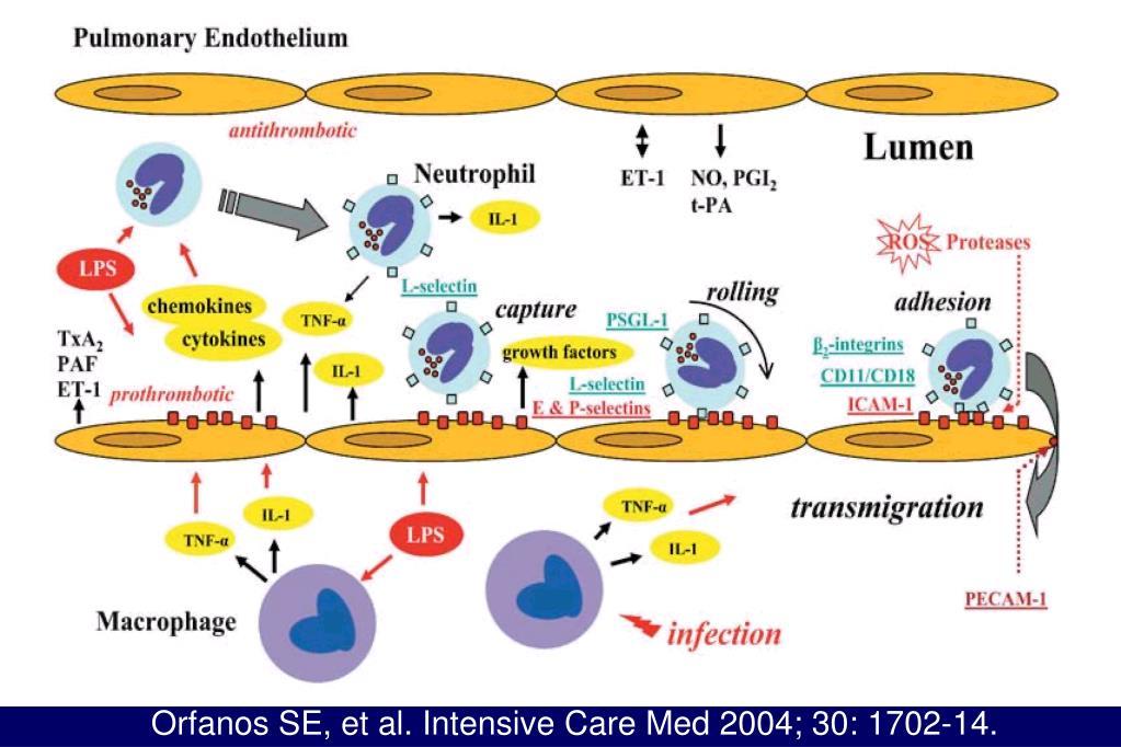 Orfanos SE, et al. Intensive Care Med 2004; 30: 1702-14.