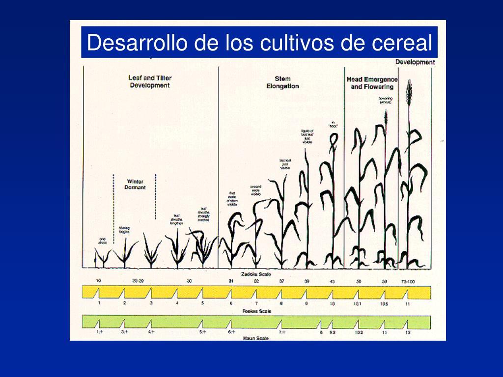 Desarrollo de los cultivos de cereal