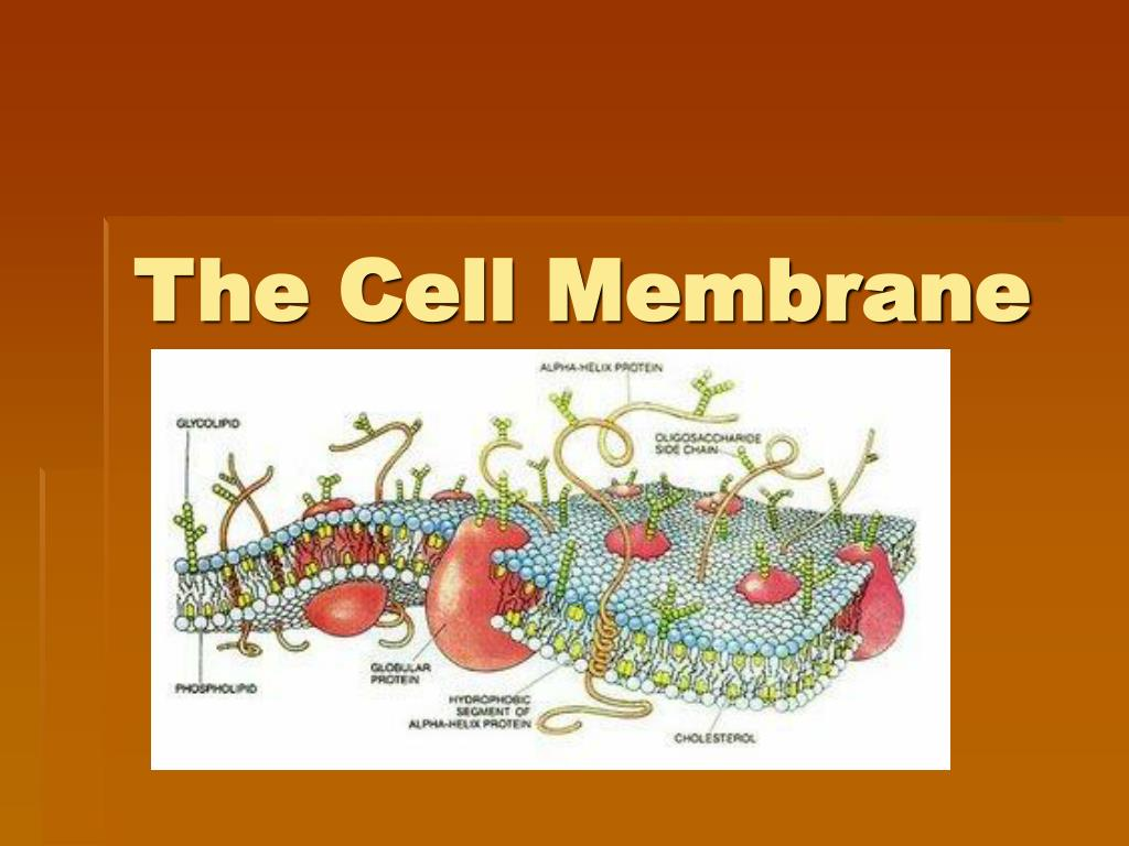 an introduction to the study of the environment on the cell membrane The cell membrane provides a barrier around the cell, separating its internal components from the extracellular environment it is composed of a phospholipid bilayer, with hydrophobic internal lipid tails and hydrophilic external phosphate heads.