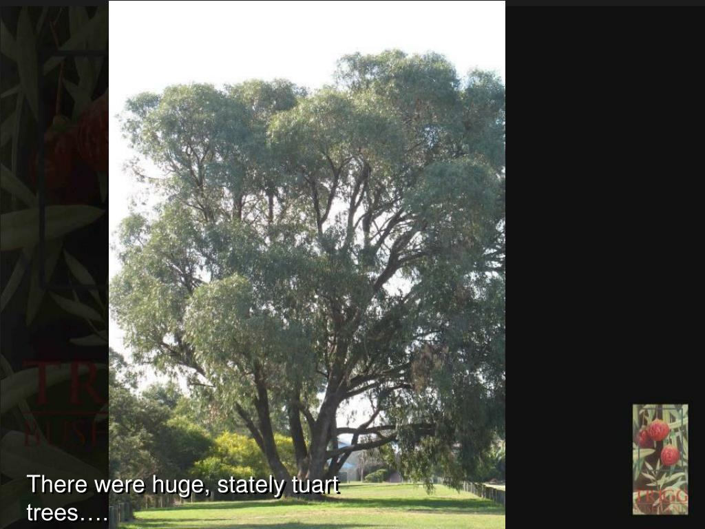 There were huge, stately tuart trees….