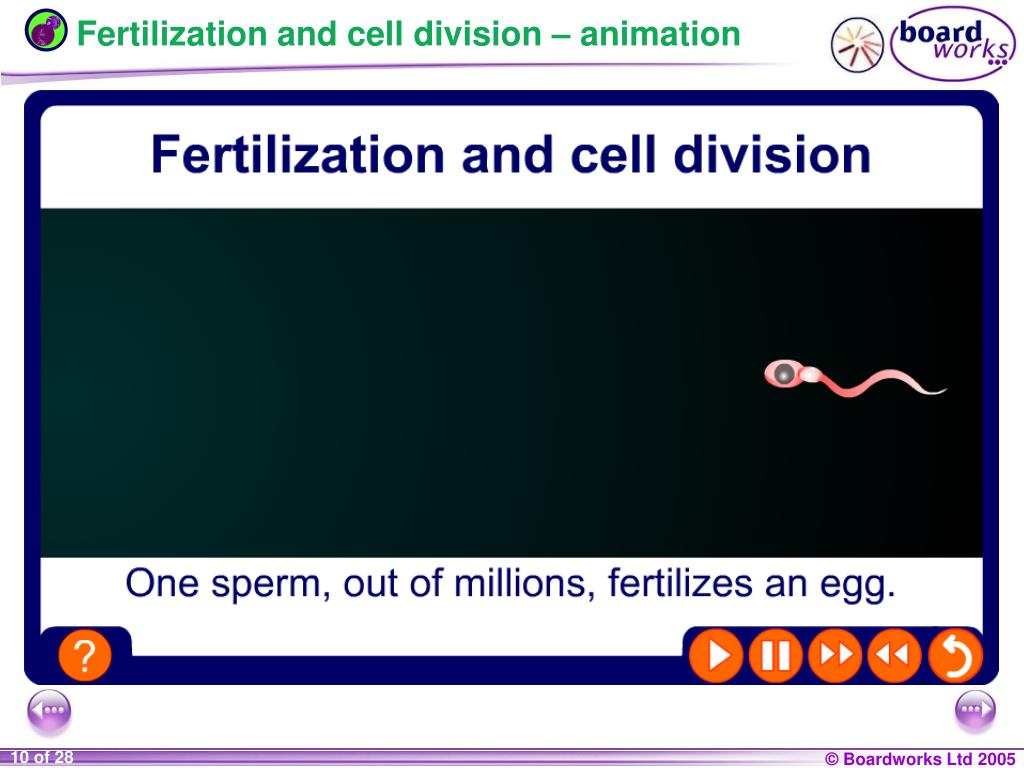 Fertilization and cell division – animation