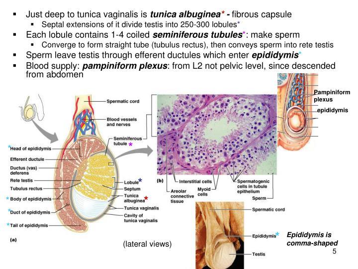 Tunica Albuginea And Tunica Vaginalis