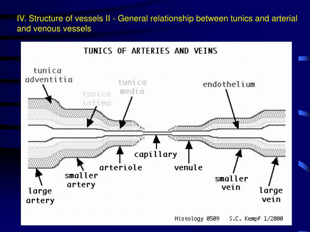 IV. Structure of vessels II - General relationship between tunics and arterial and venous vessels