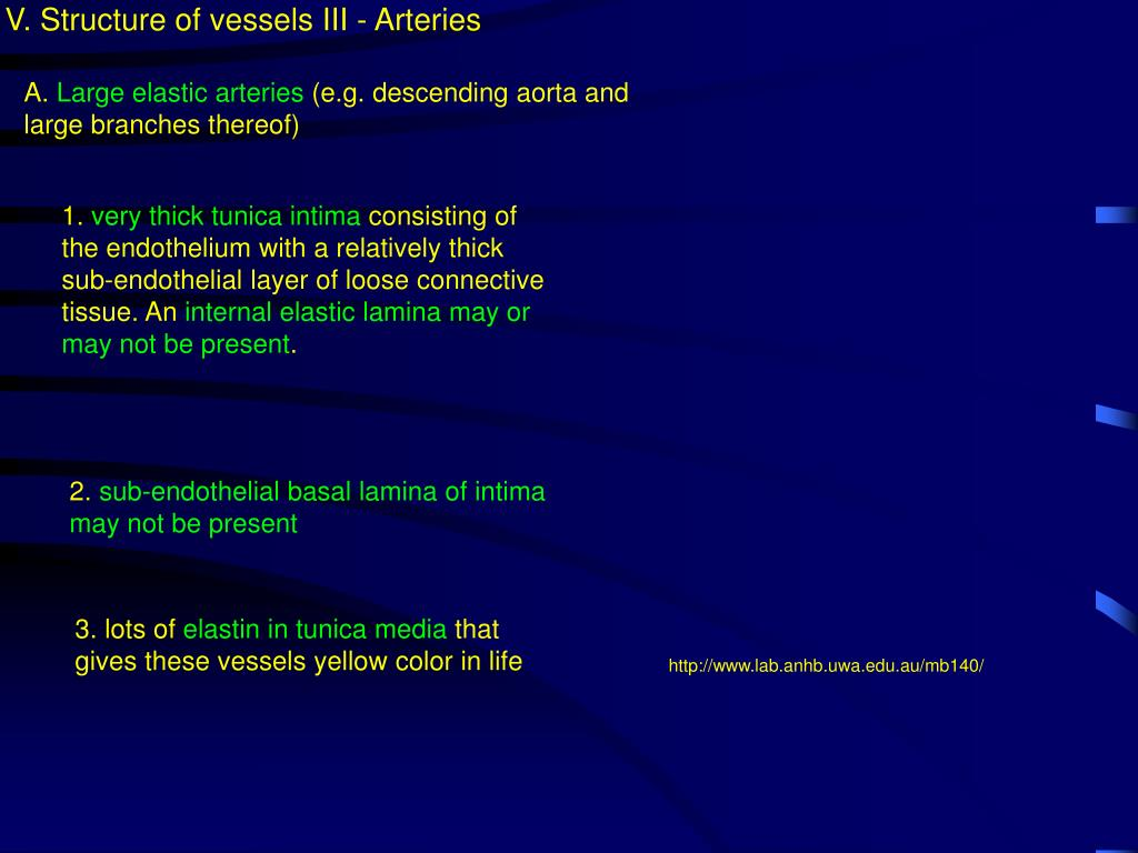 V. Structure of vessels III - Arteries